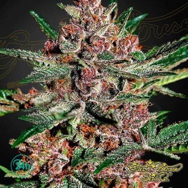 Bubba Kush planta de marihuana