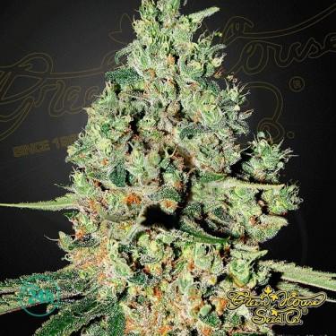 Plante de marijuana Super Critical