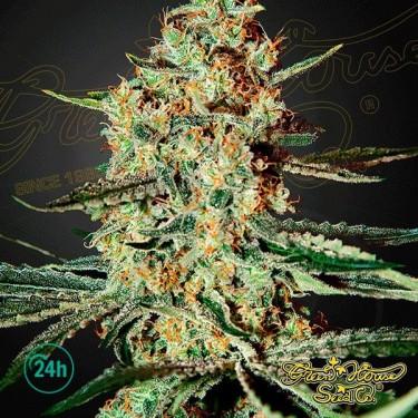 Plante de cannabis Himalaya Gold