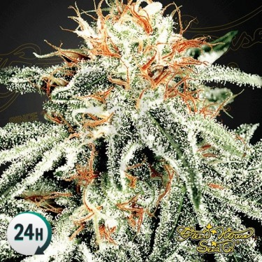 White Widow planta de marihuana