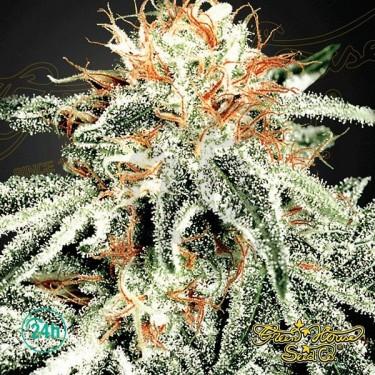 White Widow marijuana plant