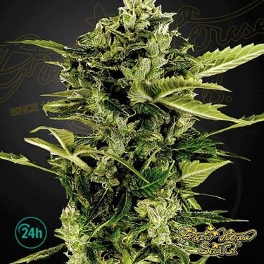 Plante de marijuana Auto Bomb