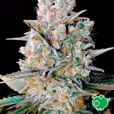 Nevil Bilbo Auto planta de marihuana
