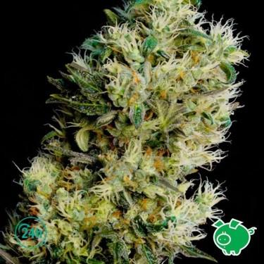 Amnesia Bilbo auto planta de marihuana