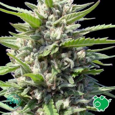Northern Lights Auto planta de marihuana