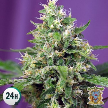 Sweet Amnesia Haze XL Auto Marijuana Plant