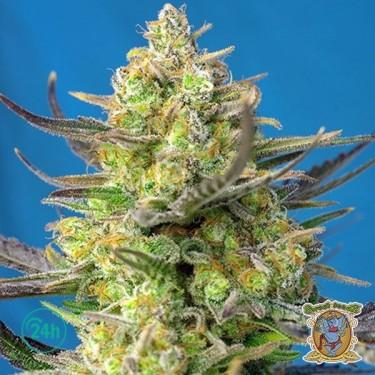 Sweet Cheese XL Auto Cannabis Plant