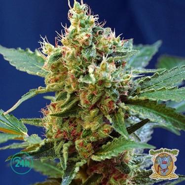 Plante de marijuana Cream Mandarine XL  Auto