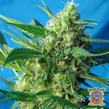 Plante de marijuana