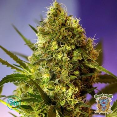 Big Devil Auto cannabis plant