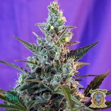 Sweet Skunk Auto marijuana plant