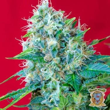 Green Poison cannabis plant