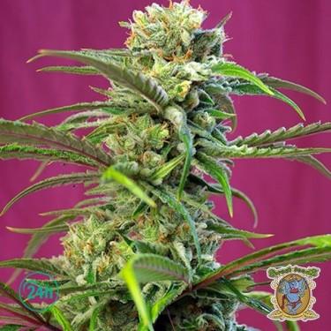 Sweet Tai cannabis plant
