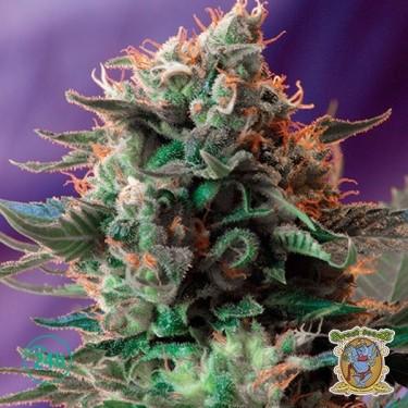 Jack 47 marijuana plant