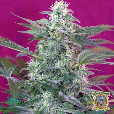 Big Foot marijuana plant