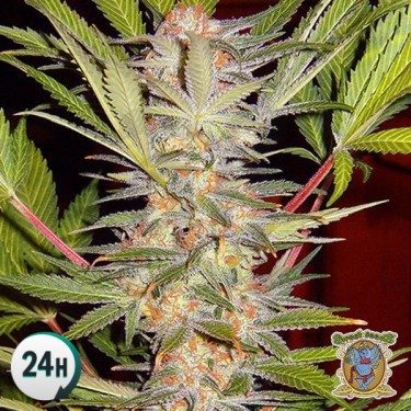 SAD Sweet Afgani Delicious S1 marijuana plant