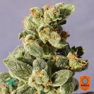 Gnomo Auto Plante de marijuana