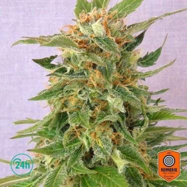 Ginger Punch Auto Plante de marijuana