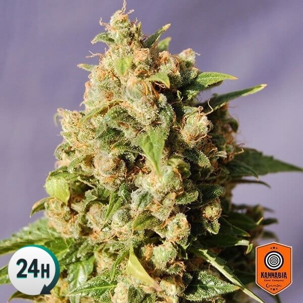 Plante de marijuana Kiss
