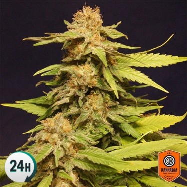 Big Bull Plante de cannabis