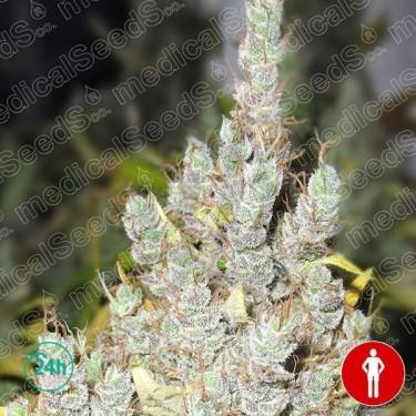 2046 Plante de marijuana