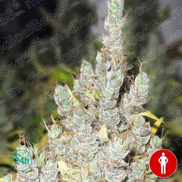 2046 marijuana plant