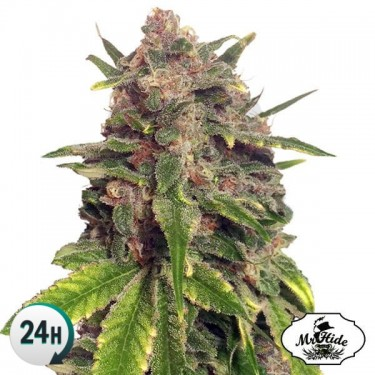 Semillas de marihuana Mr....