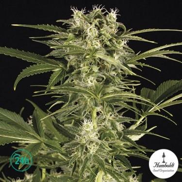 Lemon Juice Express Auto Plante de marijuana