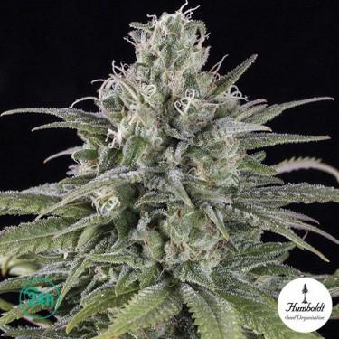 Uk Cheese Auto Plante de marijuana
