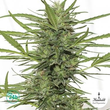 Dr Greenthumb's Dedoverde Haze auto Plante de marijuana