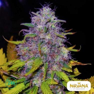 Jock Horror planta de marihuana