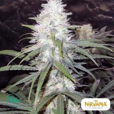 Sterling Haze planta de marihuana