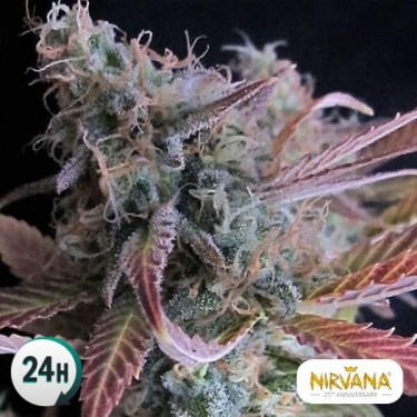 Raspberry Cough planta de marihuana