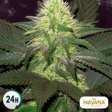 Blackberry planta de marihuana