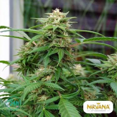 White Rhino planta de marihuana