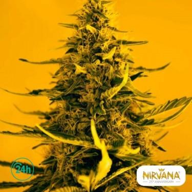 White Widow planta de marihuana