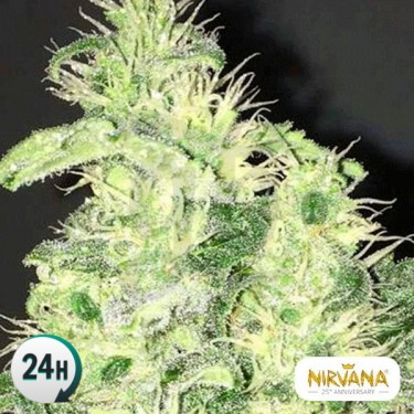 Supreme CBD Kush planta de marihuana