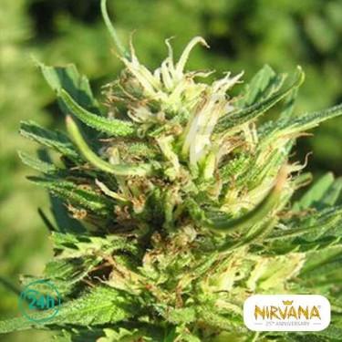 Super Skunk planta de marihuana