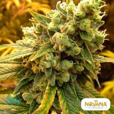 Sativa's Sour Diesel planta de marihuana