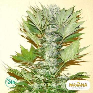 Misty Kush planta de marihuana