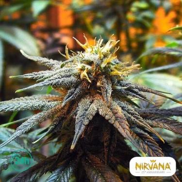 Mango Skunk planta de marihuana