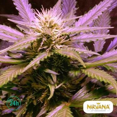 Lemon OG Haze planta de marihuana