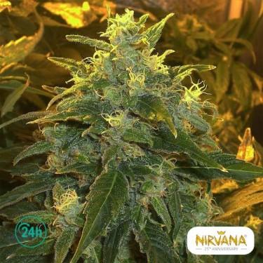 Northern Light planta de marihuana