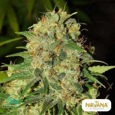 Master Kush planta de marihuana