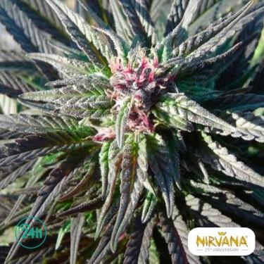 Kaya Gold planta de marihuana