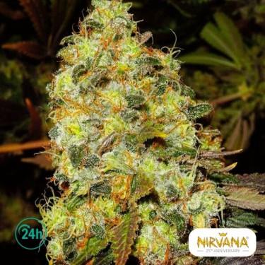 Ice planta de marihuana