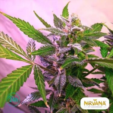 Blue Mystic planta de marihuana