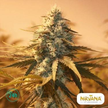 Ak 48 planta de marihuana
