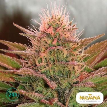 Bubblelicious planta de marihuana