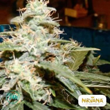Short Rider Autofloreciente planta de marihuana